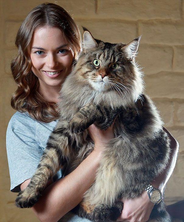 1449044316_maine_coon_cats_20