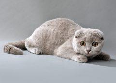 Шотландская вислоухая - порода Скоттиш-фолд, 33фото