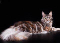 Мейн-кун - самые крупные кошки, 33 фото