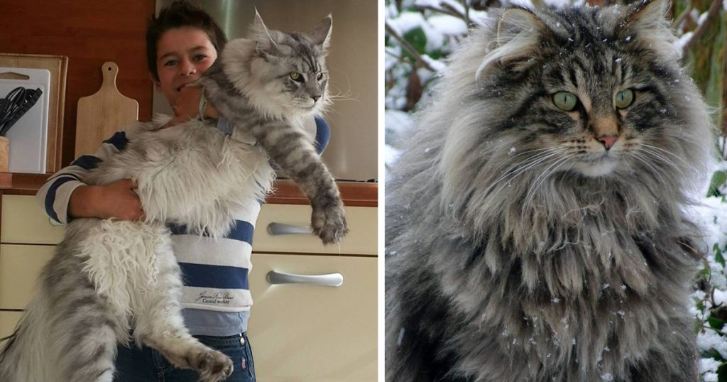 big-cats-maine-coons-fb3