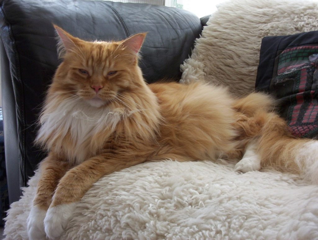 maine_coon_3