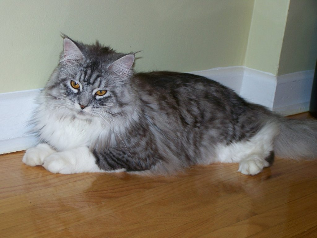 maine_coon_4