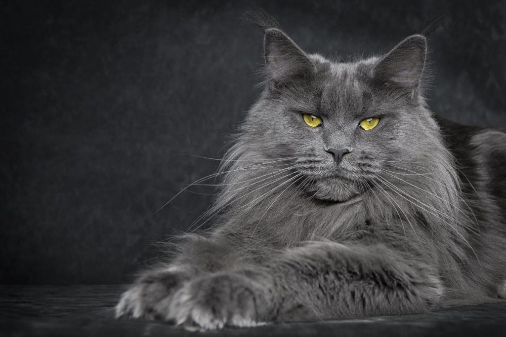 maine_coon_blue7