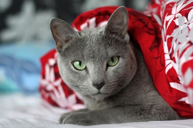 картинки коты русская голубая