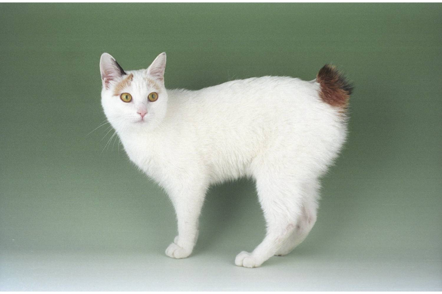 Cat breeds with pictures listing 100 Favorite Cats - Writers Free Reference