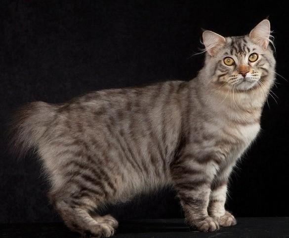 Бобтейл -  виды и их описание 33 фото