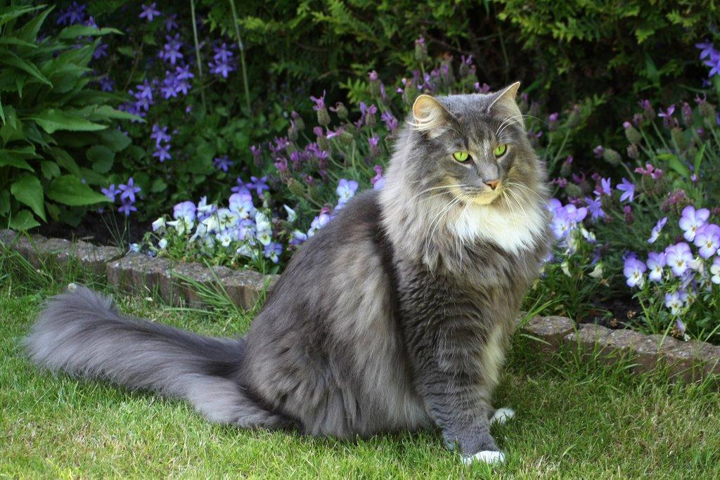 норвежские фото коты лесные