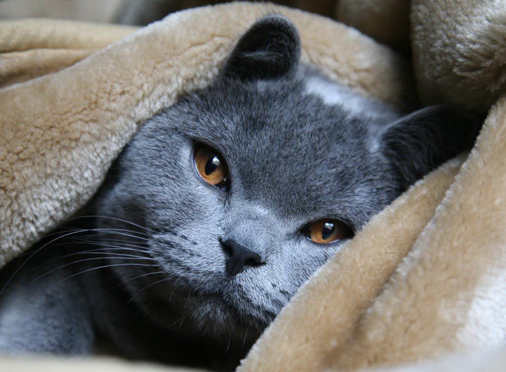 особенности здоровья русской голубой кошки
