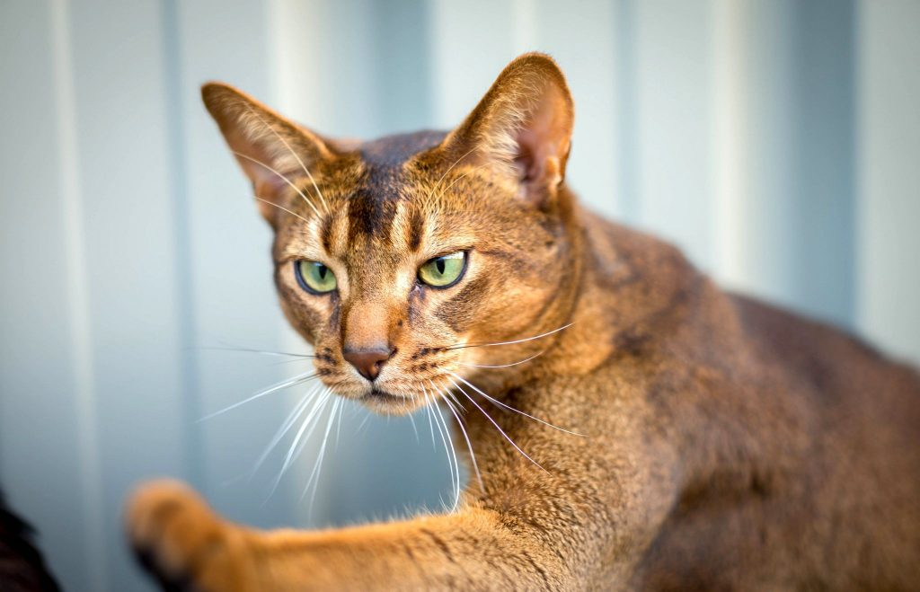 Абиссинская кошка - описание породы, 33 фото