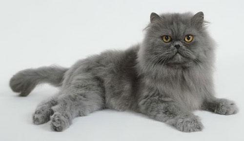 Персидская кошка - описание породы,характер, 33 фото