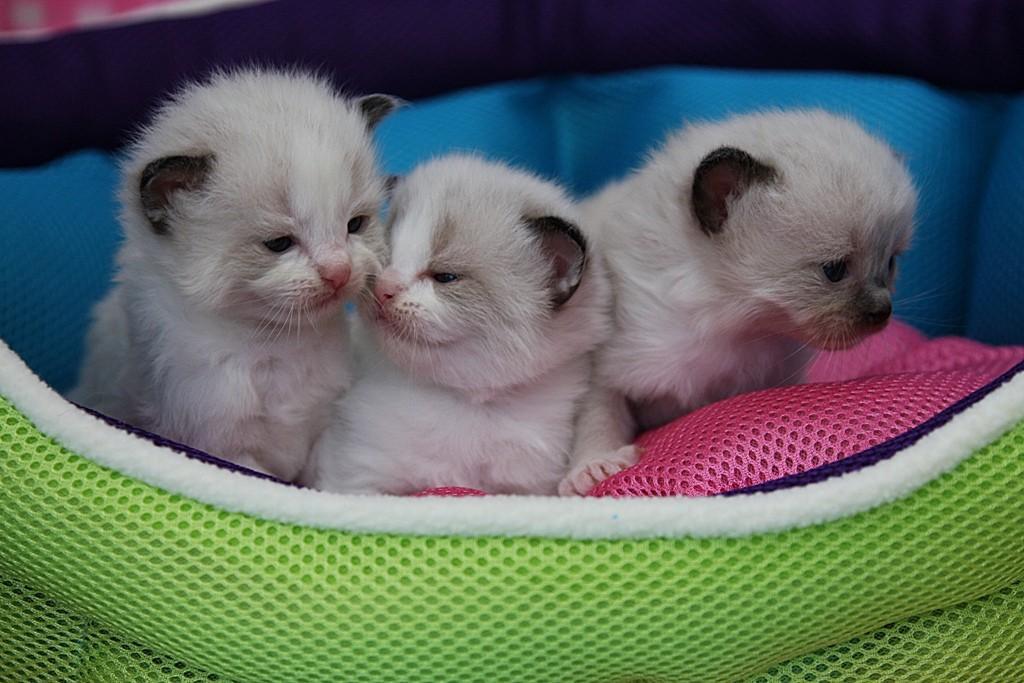 сколько стоит котенок рэгдолл в одессе материала детского