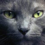 Русская голубая кошка — цена, характер породы, 33 фото