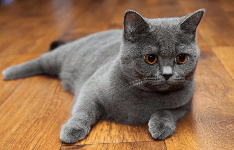 кошки шотландской фото