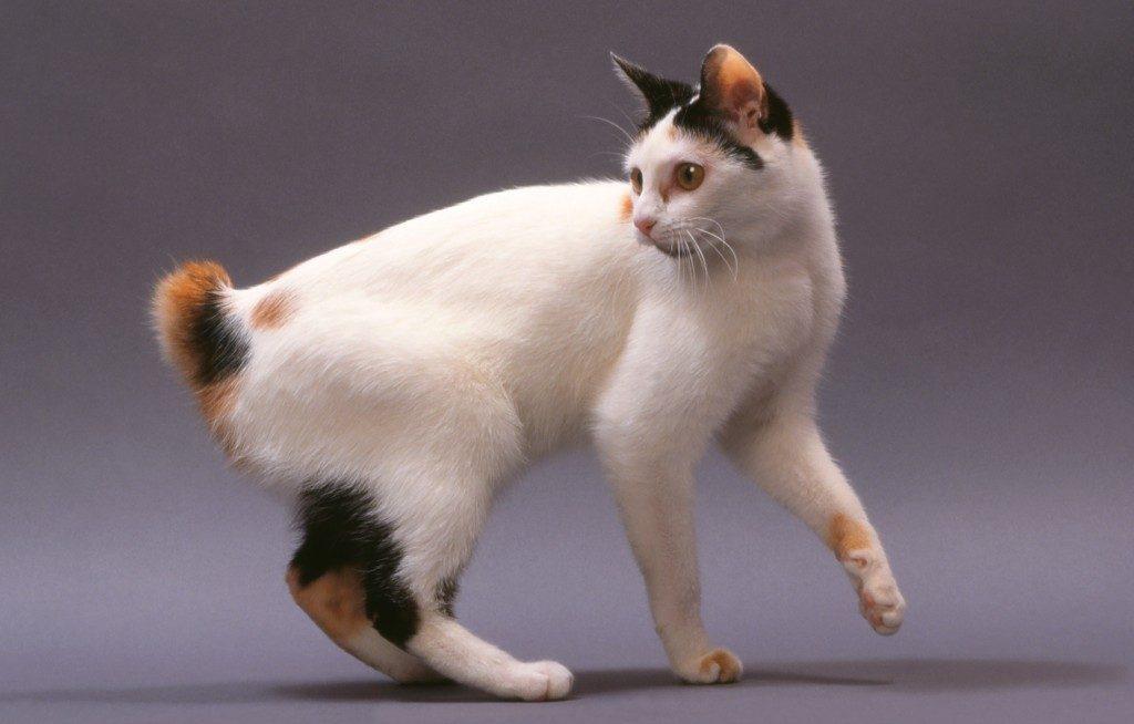 Японский бобтейл - Порода кошек из Японии 33 фото