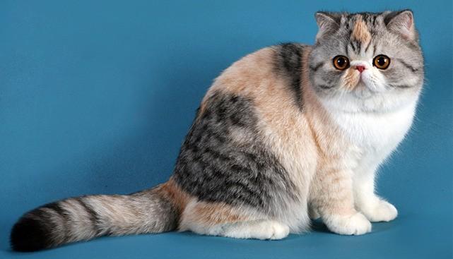 Цена кот породы экзот