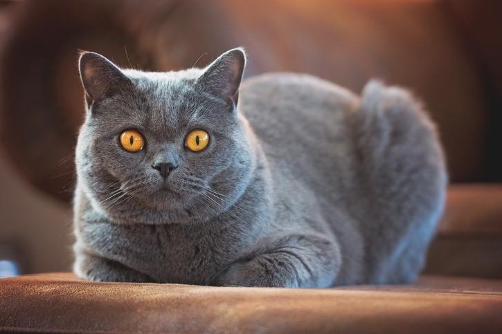 Британская короткошерстная кошка: описание, характер, 33 фото