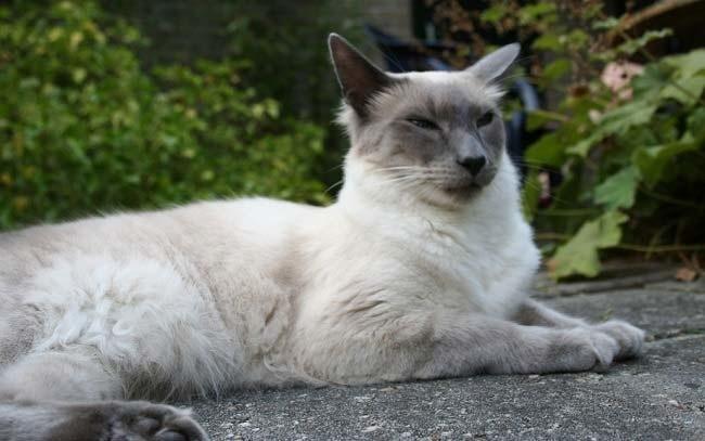 Балинезийская кошка - кошки, цена, описание, 33 фото