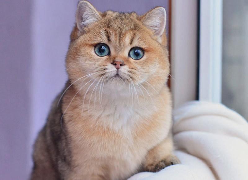 изготовления магические способности британских кошек сравнению