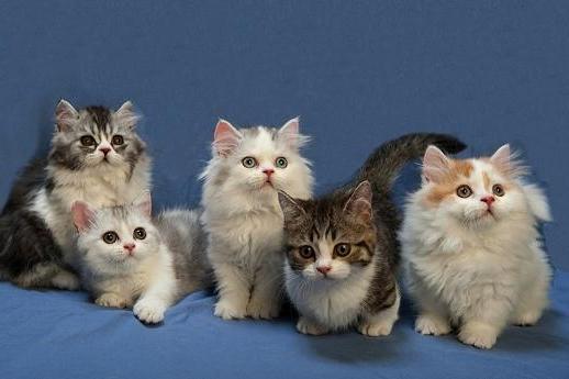 Карликовые кошки: описание, фото, уход, характер, цена