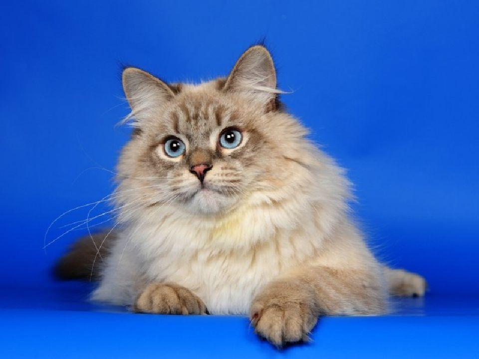 Невская маскарадная кошка: описание, фото, уход, характер, цена