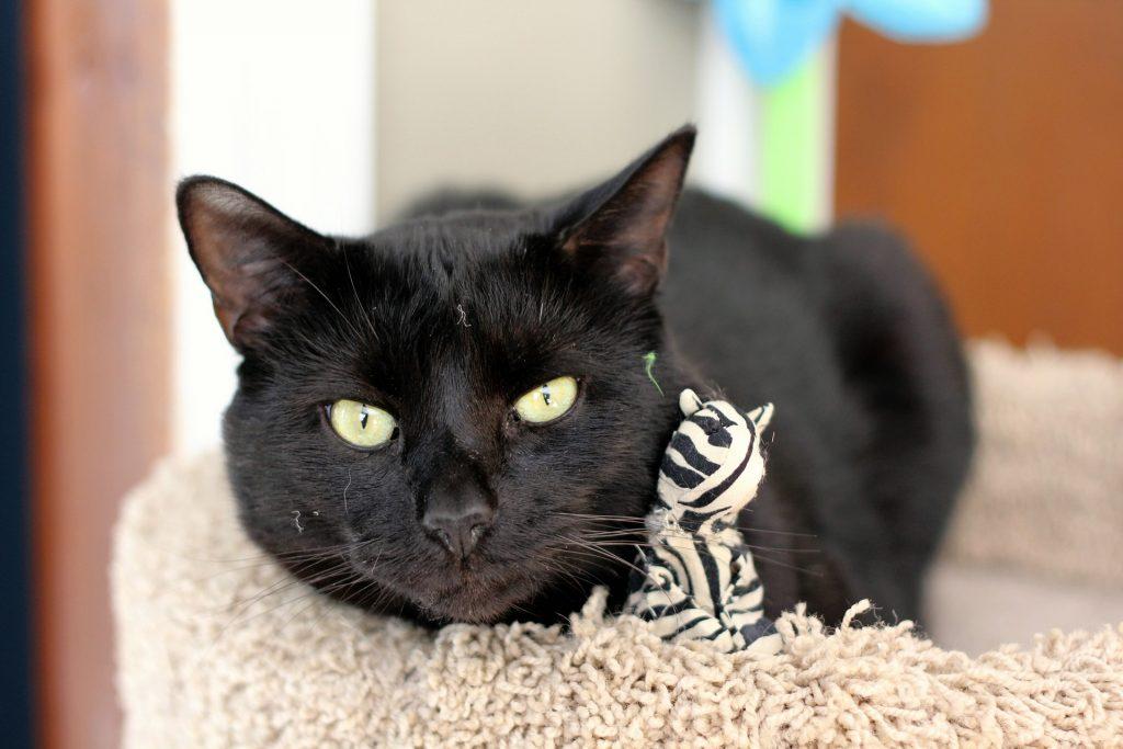 Бомбейская кошка: описание, фото, уход, характер, цена