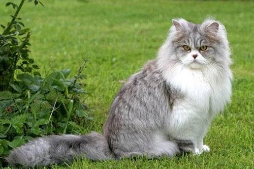 Британская длинношерстная кошка
