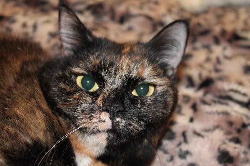 Европейская короткошерстная кошка: описание, фото, уход, характер, цена