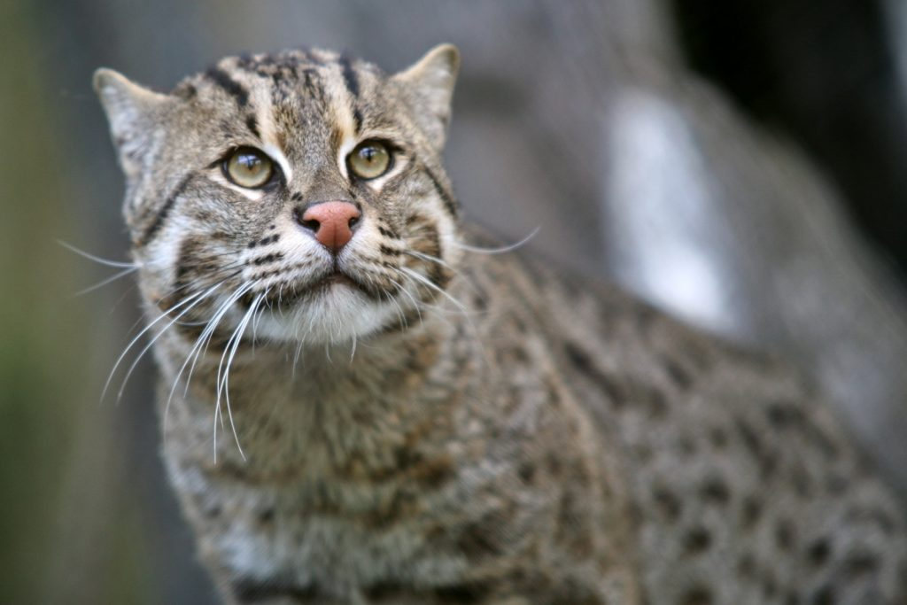 Кот-рыболов - Виверровый кот: описание, фото, уход, характер, цена