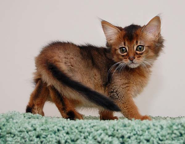 Сомалийская кошка: описание, фото, уход, характер, цена