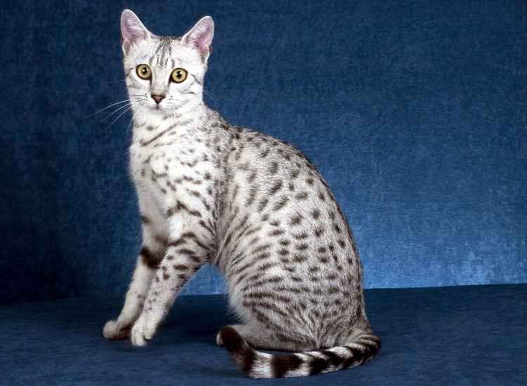an analysis of the egyptian mau cat