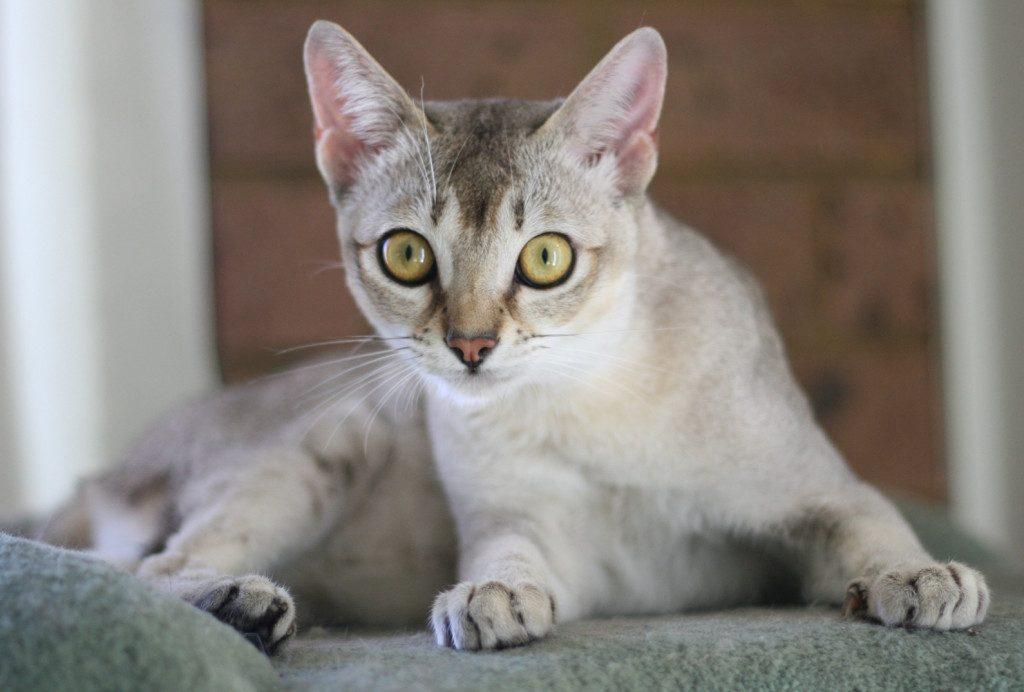Сингапурская кошка