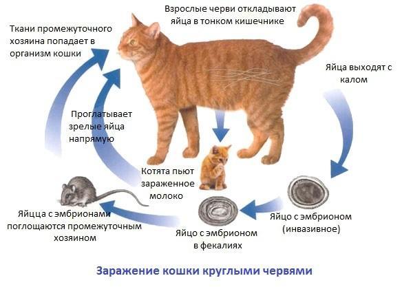 Лечение глистов у котов в домашних условиях
