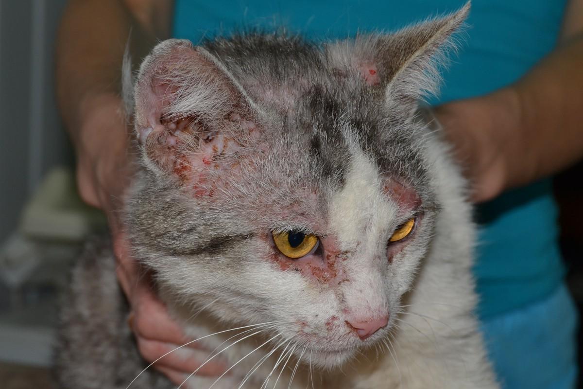 Коросты у кошки как лечить в домашних условиях