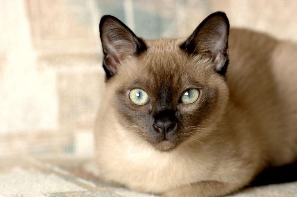 Тонкинская кошка: описание, фото, уход, характер, цена