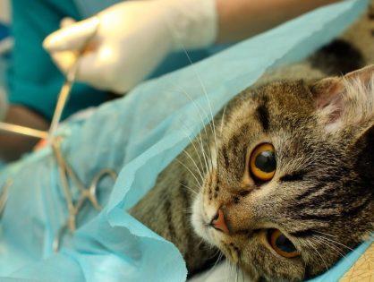 Мастит у кошки - Разновидности заболевания и его последствия