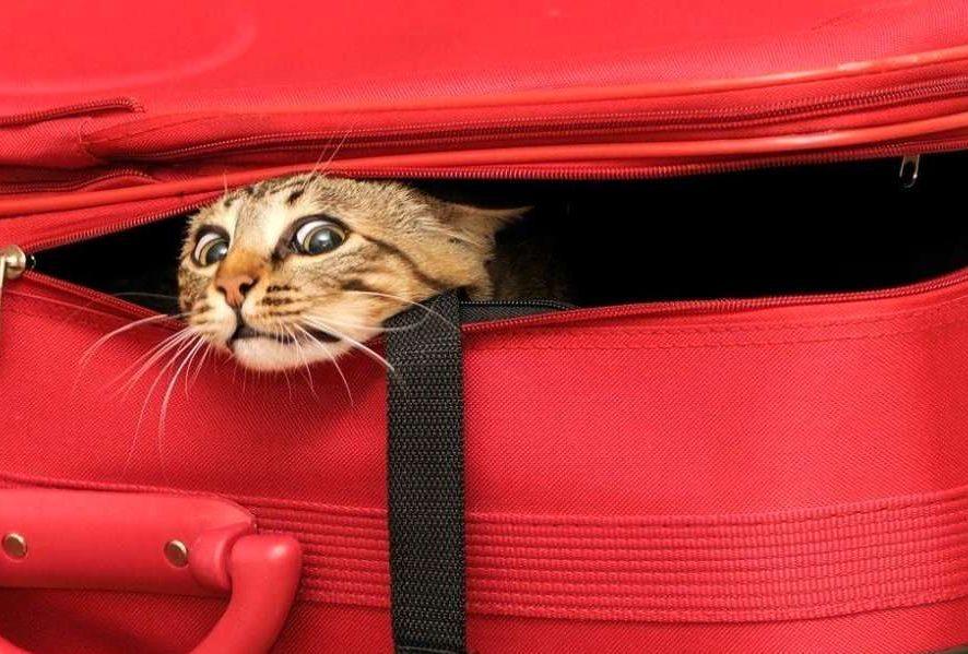 Вывоз кошки за границу - как вывезти домашнего питомца за рубеж