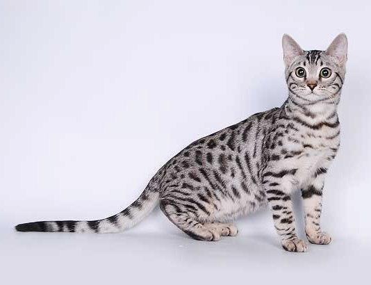 Характер бенгальской кошки