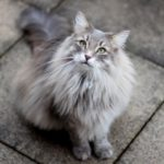 Порода кошек с кисточками на ушах — порода, фото, описание