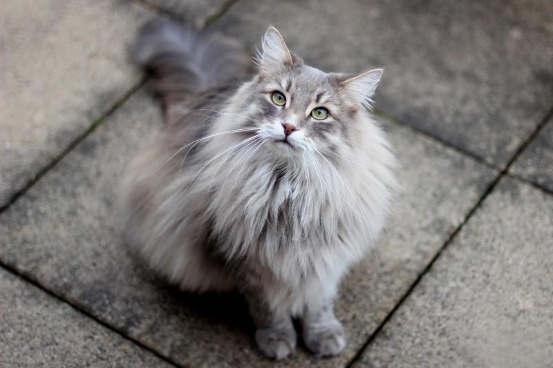 Порода кошек с кисточками на ушах - порода, фото, описание