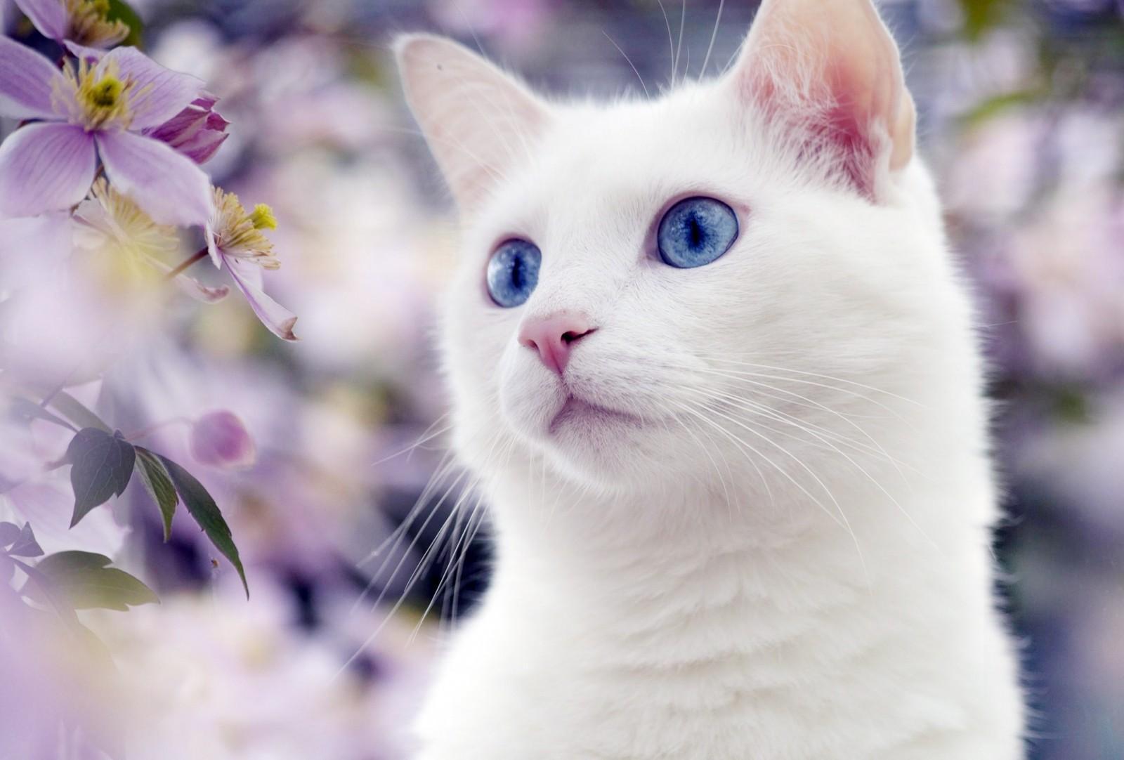 Породы белых кошек - почему кошка рождается белой