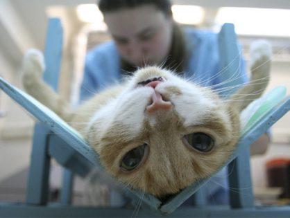 Сколько стоит стерилизация кошки - нужно ли стерилизовать кошку?
