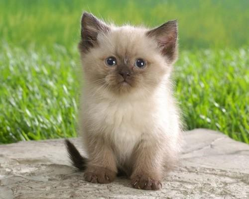 Характер сиамских кошек - особенности поведения