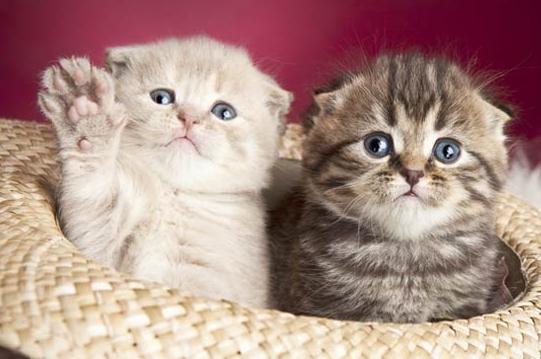Как узнать породу кошки