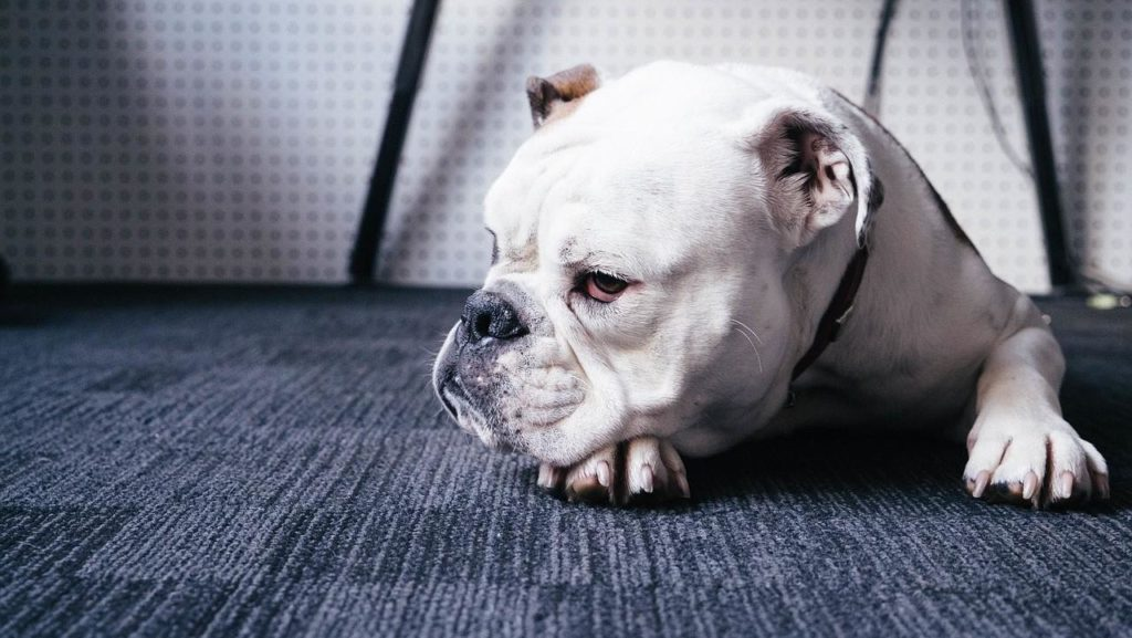 Порода собак Бульдог