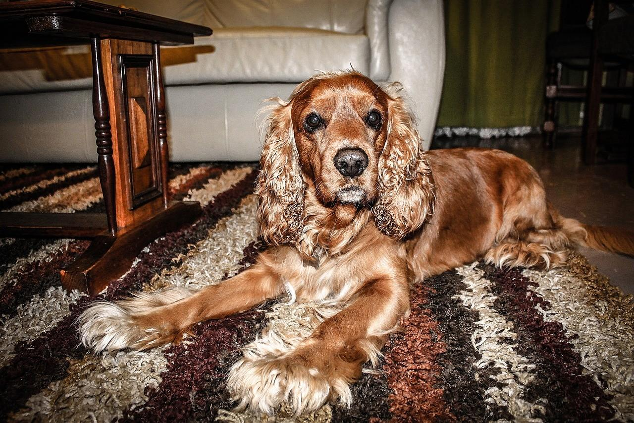 Порода собак Кокер спаниель