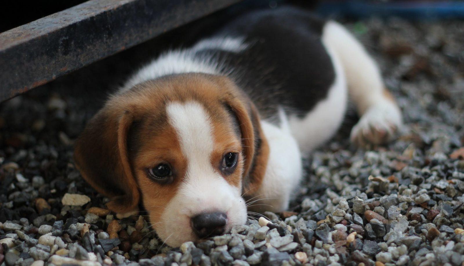 Порода собак Бигль