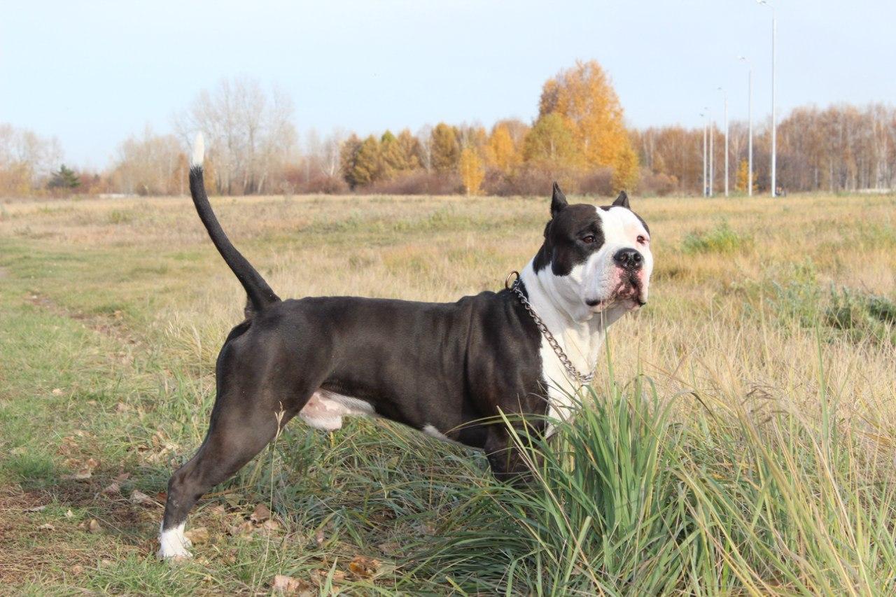 Порода собак Стаффордширский терьер