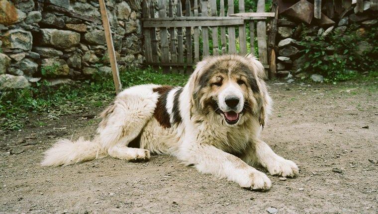 Кавказская овчарка: описание, фото, уход, характер, цена