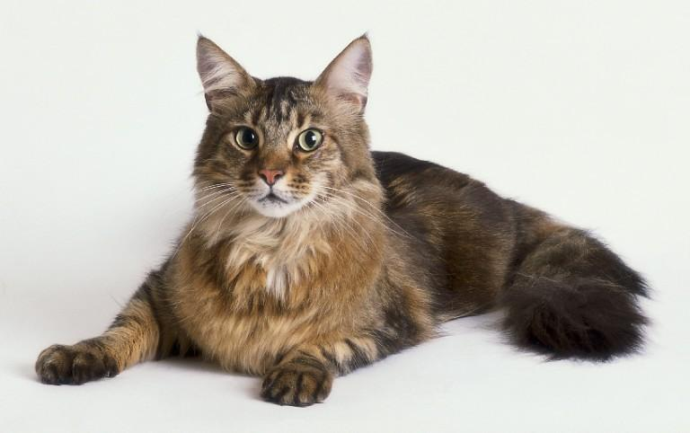 18302542maine_coon2