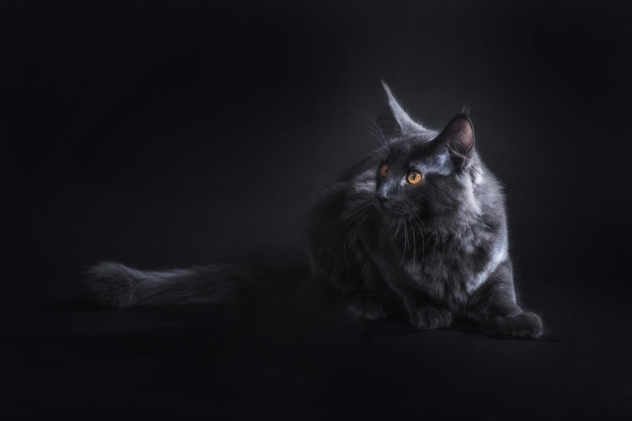 Мейн-кун - окрас,особенности породы (100 фото)